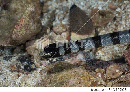 アオマダラウミヘビの頭部 (メルギー諸島、ミャンマー) 74352203