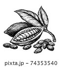 Cocoa leaves and fruits of cocoa beans. Hand drawn vector illustration on white background. Engraving drawing style. 74353540