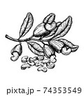 Cashew plant and nuts. Ink sketch. Hand drawn vector illustration. Isolated on white background. Retro style. 74353549