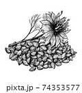 Cumin or nigella sativa plant and seeds. Hand drawn vector illustration on white background. Engraving drawing style. 74353577