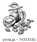 Drawings of apricot fruit and kernels. Hand drawn vector illustration on white background. Engraving drawing style. 74353581