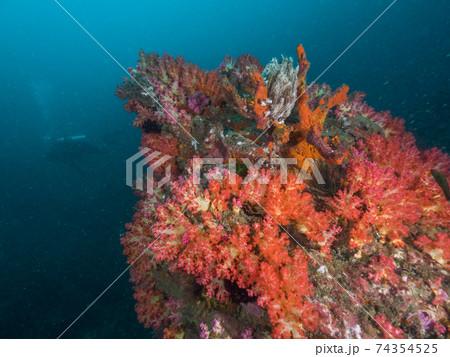赤いソフトコーラル (メルギー諸島、ミャンマー) 74354525