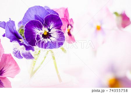 春色のパンジー 幻想的な花のイメージ素材 74355758