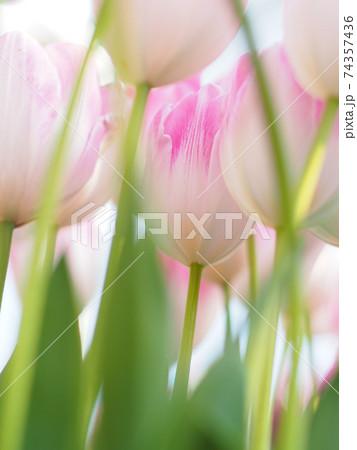 縦構図で撮影した、手前のチューリップの茎の隙間から見えるピンク色のチューリップ達 74357436