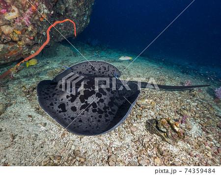 珊瑚礁の砂地で休むマダラエイ (メルギー諸島、ミャンマー) 74359484