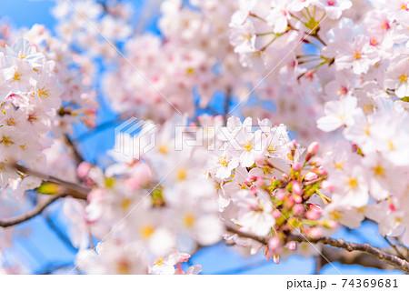 青空を背景に咲く満開の桜 ピンク色 74369681