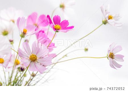 白バックのピンクのコスモスの花 74372052