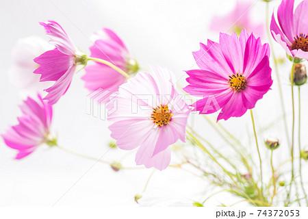 白バックのピンクのコスモスの花 74372053