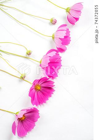白バックの並んだ濃いピンクのコスモスの花 74372055