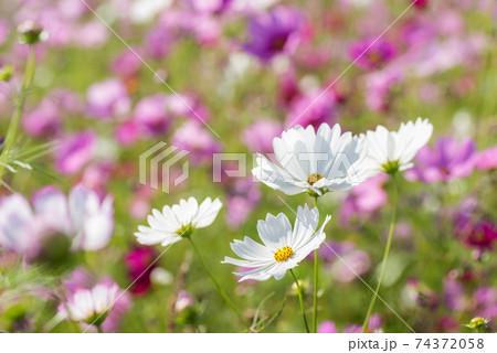ピンクの花畑をバックに白いコスモスの花 74372058