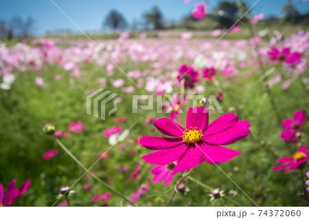 お花畑をバックに濃いピンクのコスモスの花のアップ 74372060