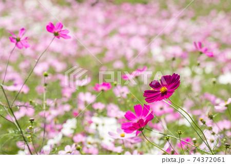 お花畑をバックに濃いピンクのコスモスの花 74372061