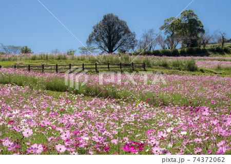 青空の下のピンクのコスモスのお花畑 74372062