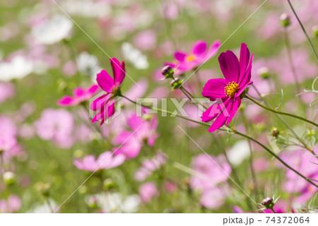 お花畑をバックに濃いピンクのコスモスの花 74372064
