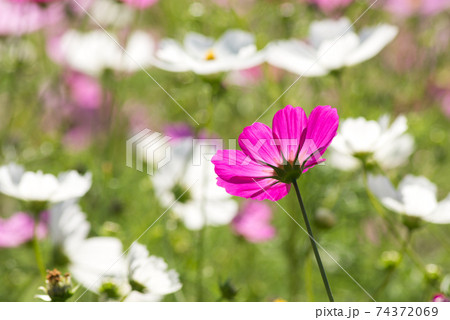 白い花をバックに後ろ向きの濃いピンクのコスモスの花 74372069
