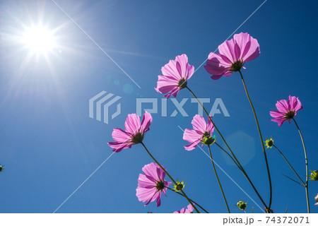 太陽の下のピンクのコスモスの花 74372071