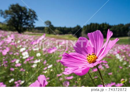 お花畑のピンクのコスモスの花のアップ 74372072
