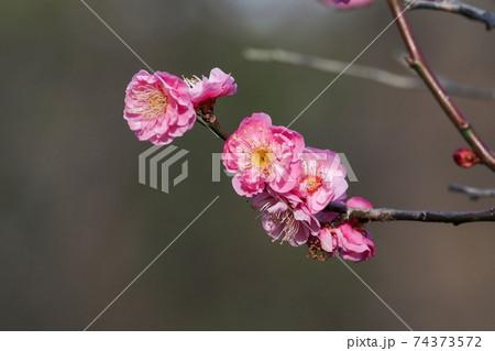 冬の日差しを浴びて咲くちょうど見頃の満開の紅梅 74373572