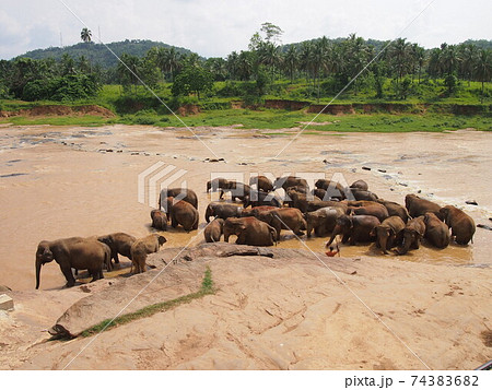 スリランカ旅行よりピンナワラのゾウの孤児園 74383682