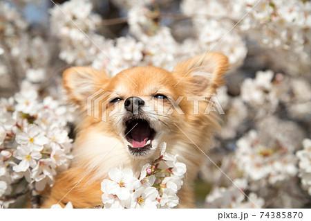 桜の花から顔を出しあくびをするチワワ 74385870