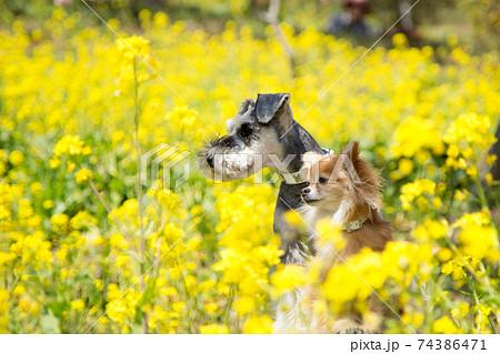 菜の花畑でお座りをするチワワとシュナウザー 74386471