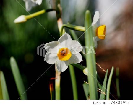 白い水仙の花のクローズアップ 74389915