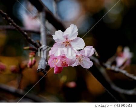 筆山公園の早咲きの桜(雪割桜) 74390632