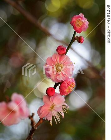 ピンクの花がついた梅の枝 74391209