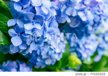 東京都内に咲く満開の紫陽花(梅雨イメージ) 74392020