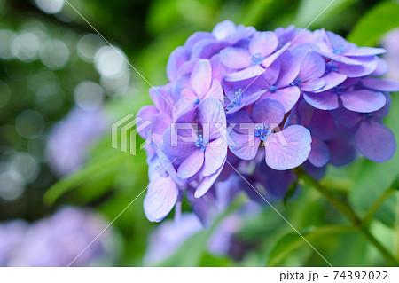 鮮やかに花を咲かせる紫陽花(東京・飛鳥山公園) 74392022