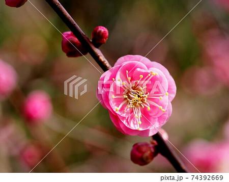 枝についたピンクの梅の花のクローズアップ 74392669