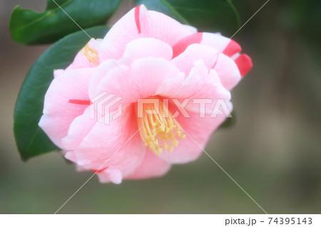 ピンクと赤の絞りの椿の花(通鳥) 74395143