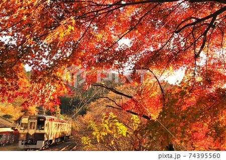 真っ赤に輝くモミジのトンネルを行くローカル線ディーゼルカー わたらせ渓谷鉄道 74395560
