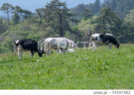 鳥取県西伯郡伯耆町 大山まきばみるくの里で草を食む牛たち 74397962