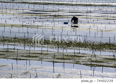 あおさ海苔養殖 アオサ海苔収穫 アオサノリと海と漁師 74402239