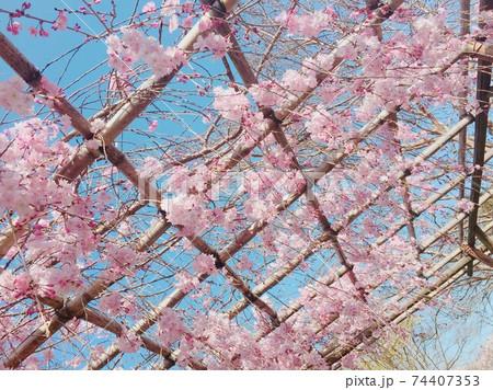 下から見上げた満開の桜と青空(京都・東寺) 74407353