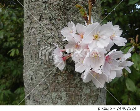 木の幹に咲いた満開の桜のクローズアップ(奈良・法隆寺) 74407524