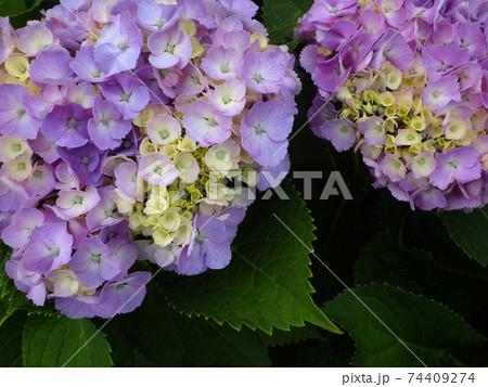 薄紫色の紫陽花のクローズアップ(二輪) 74409274
