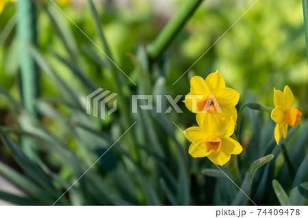道端に咲く水仙(スイセン)の黄色い花 74409478
