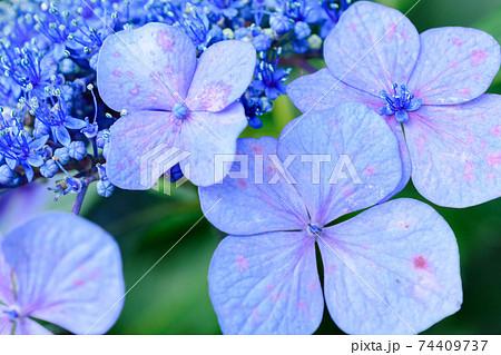 東京都内に咲く紫陽花クローズアップ 74409737