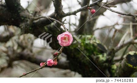 初春に咲き始めた梅一輪 [更紗錦] 74410283