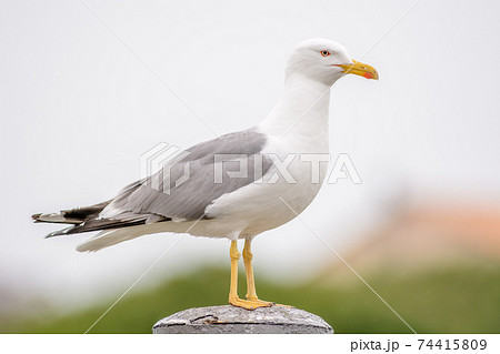Yellow-legged Gull on a pole in a harbor in the mediterranean sea 74415809