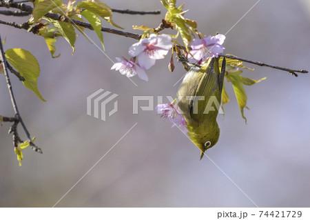 河津桜とメジロ【早春】咲きはじめの桜 74421729