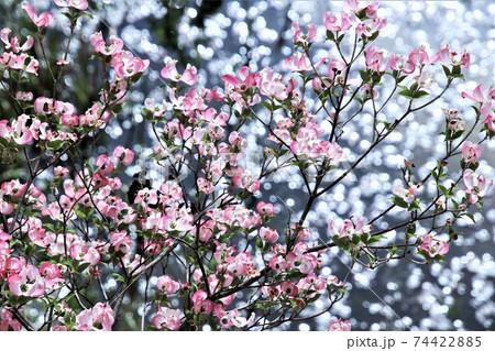 池の水面の輝きをバックにきれいに咲いたアメリカハナミズキの花 74422885