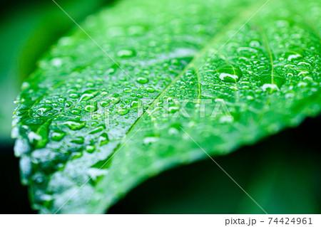 紫陽花の葉と水滴(梅雨イメージ) 74424961