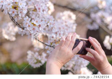 満開の桜をスマホで撮影する女性の手元 74428554