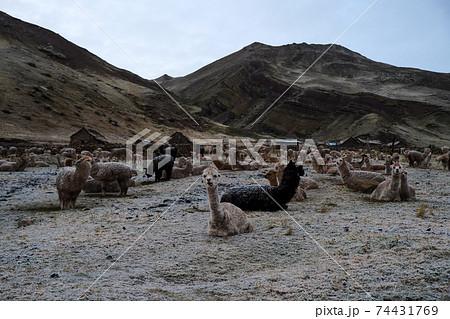 ペルーの新名所レインボーマウンテン麓に放牧されたアルパカ  74431769