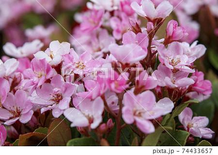ピンク色の小さな花 ベニバナシャリンバイ(紅花車輪梅) 74433657