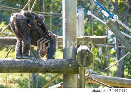 【多摩動物公園のチンパンジー】 74447452
