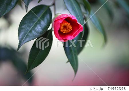 背景が美しい赤い椿(ヤブツバキ) 74452348